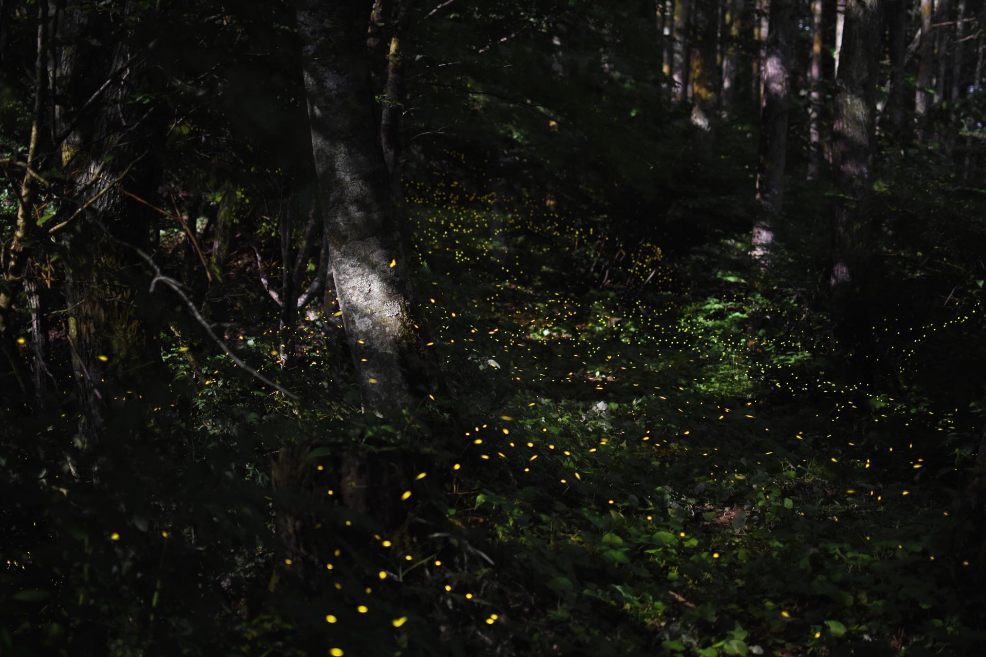 見渡す限り光を灯すヤエヤマヒメボタル