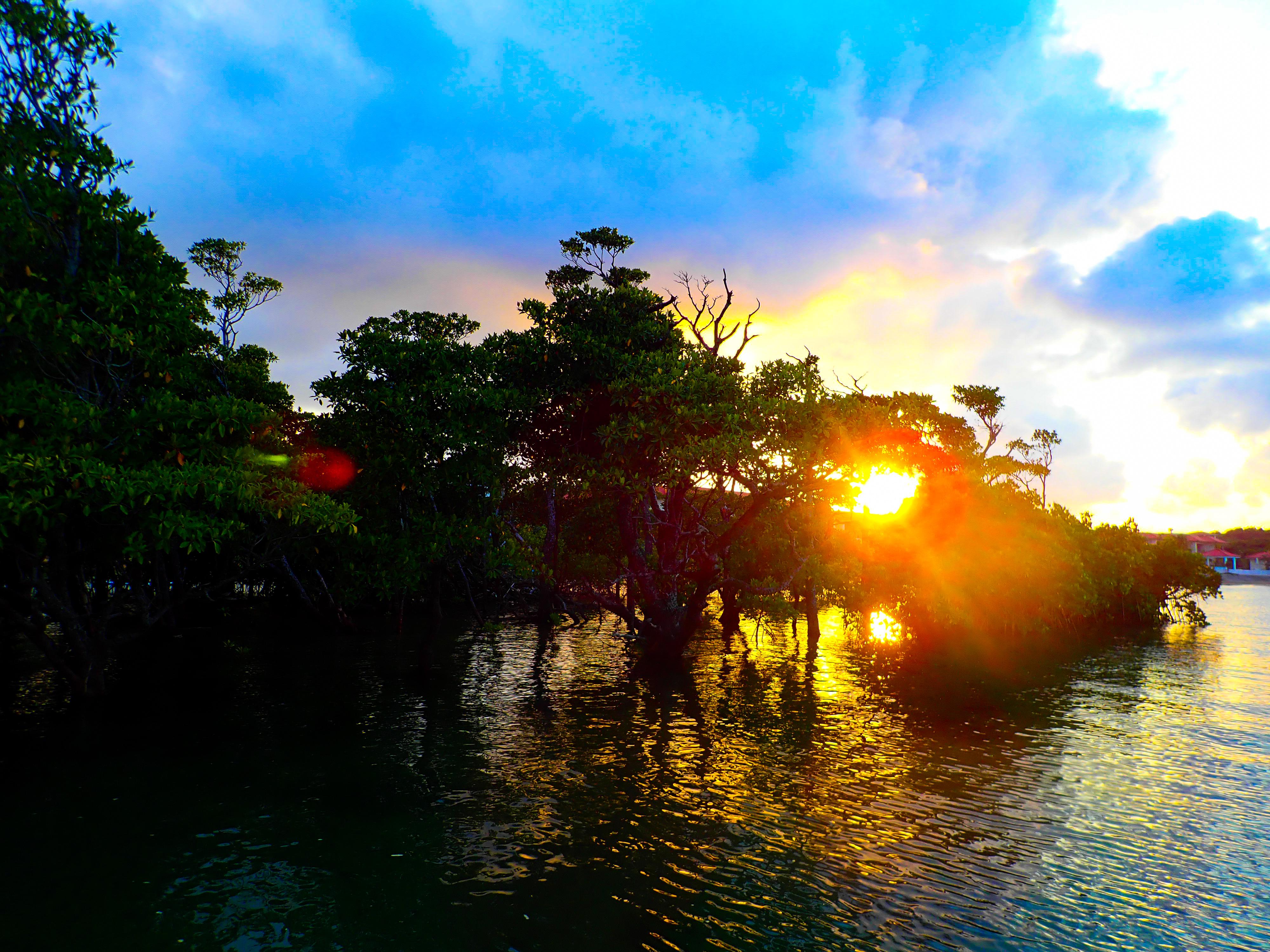 天然記念物の宮良川のヒルギ林