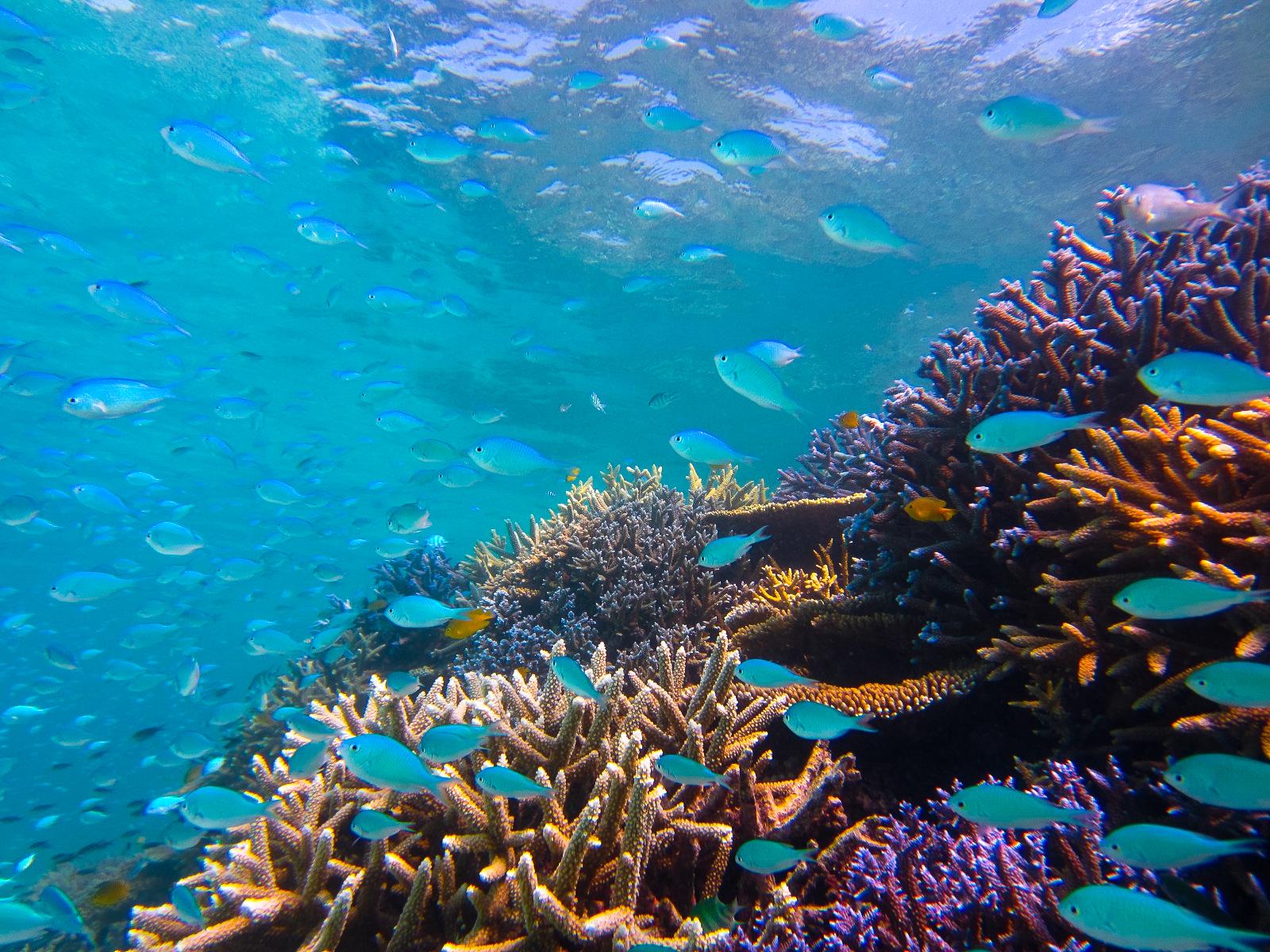 石垣島のカラフルサンゴとルリスズメダイのコントラスト