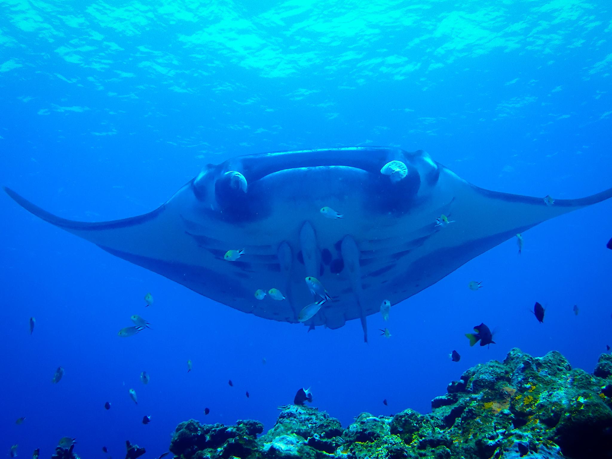 石垣島のダイビングではマンタの群れも見れる