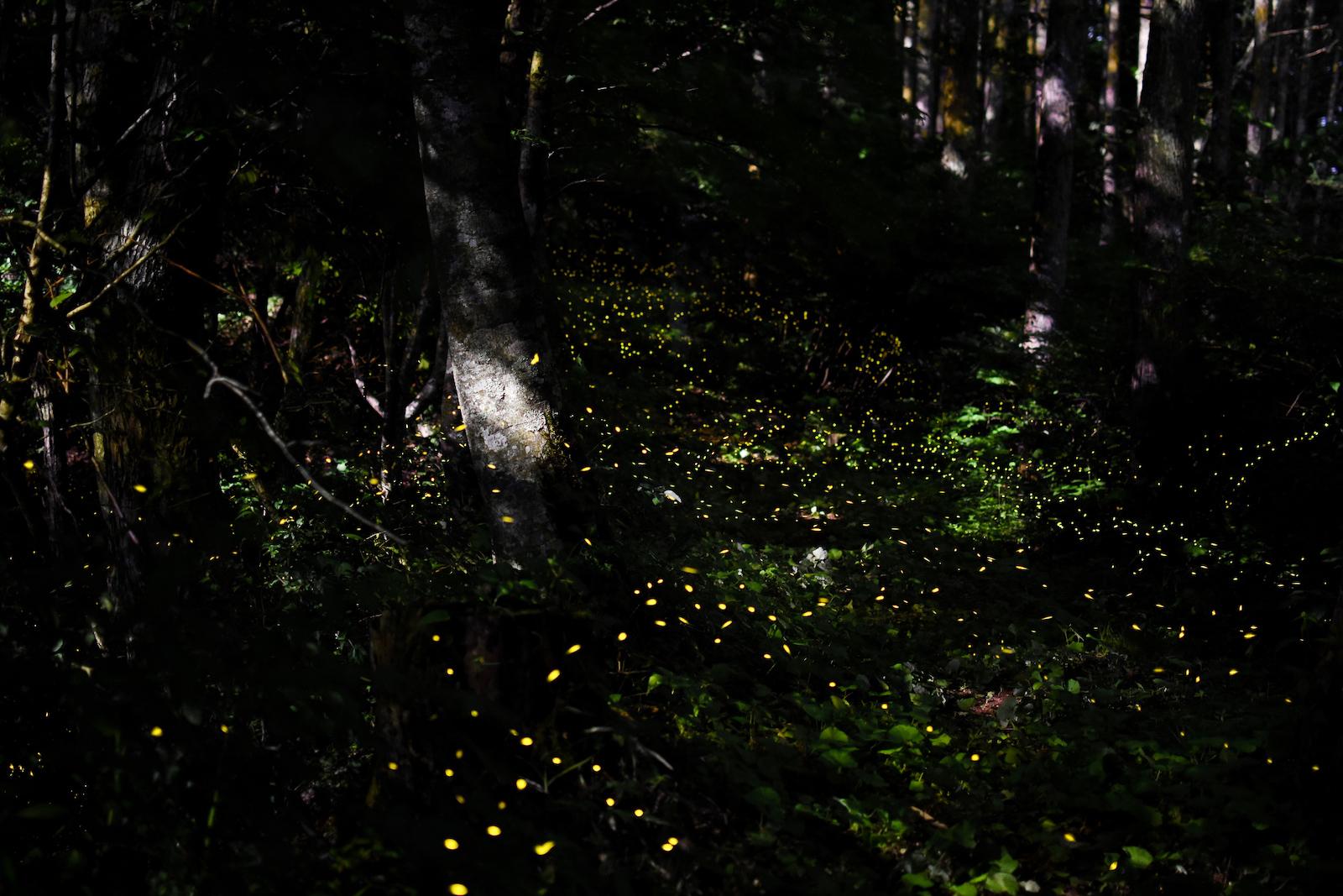 """【3~5月開催】自然のイルミネーション""""ヤエヤマヒメボタル""""鑑賞ツアー(No.318)"""