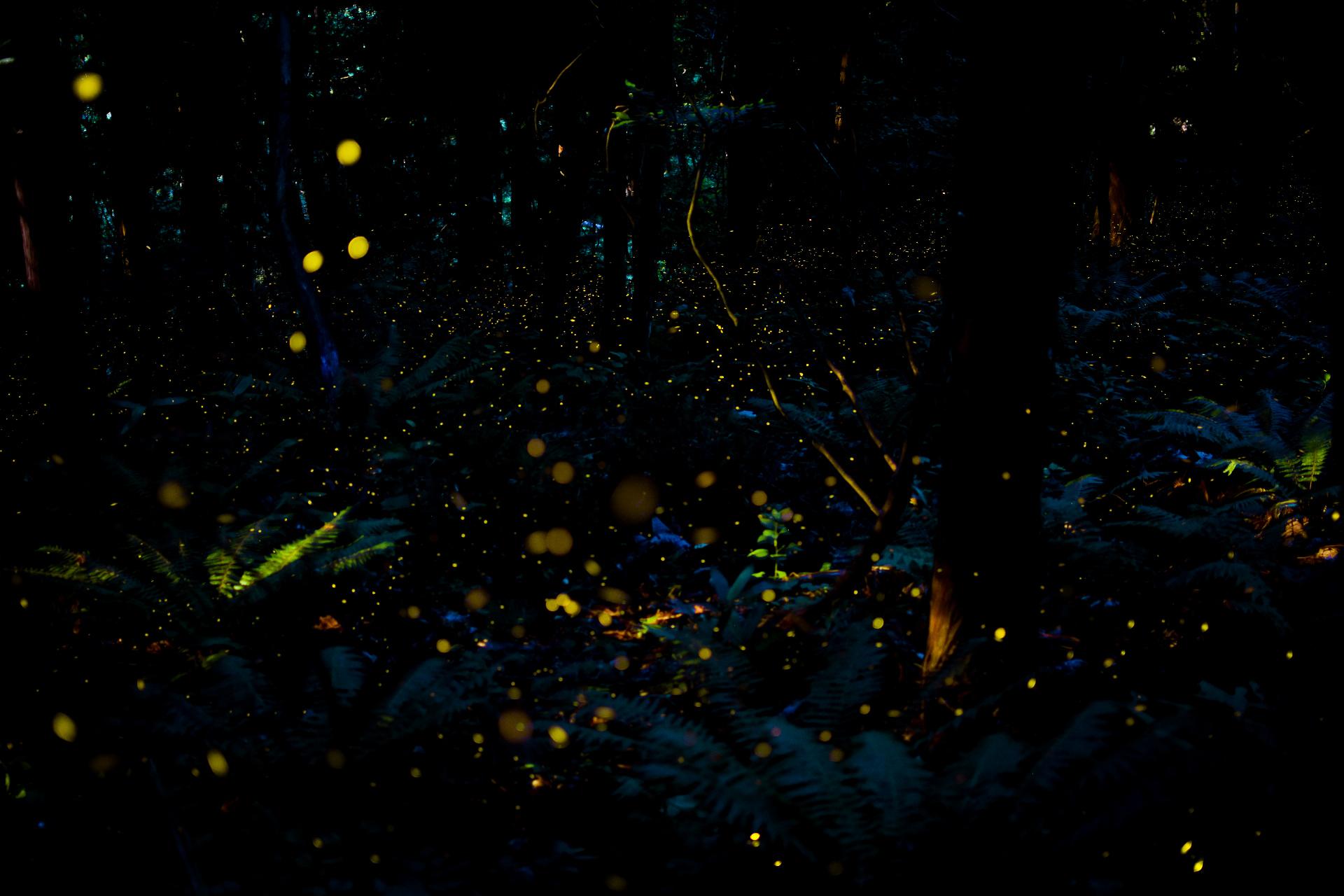 ヤエヤマヒメボタルが光を放つ奇跡の瞬間