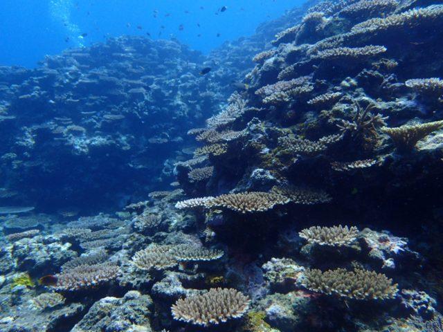 石垣島のサンゴ礁