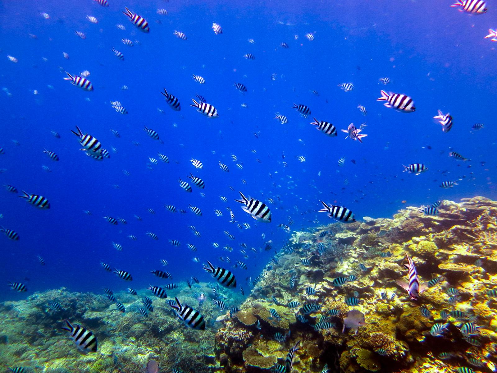 熱帯魚とカラフルサンゴに囲まれた石垣の海