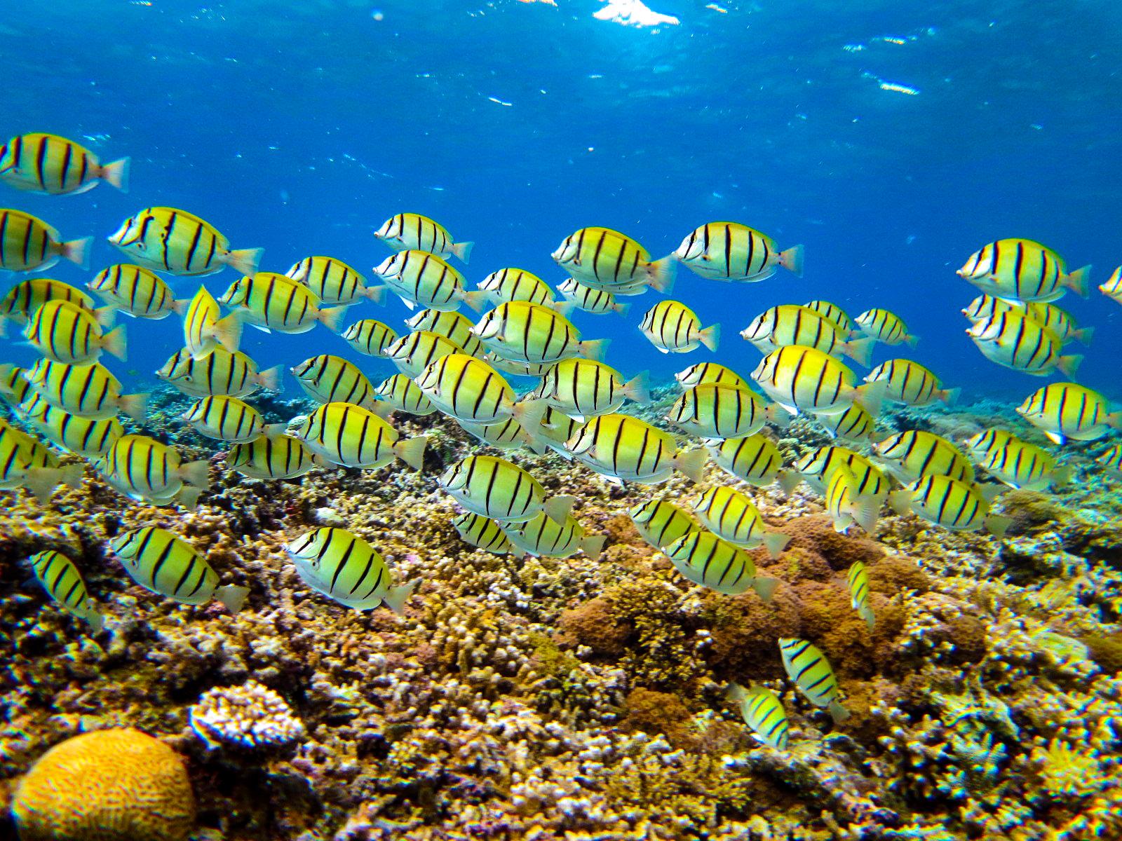 川平湾のカラフルな魚たち