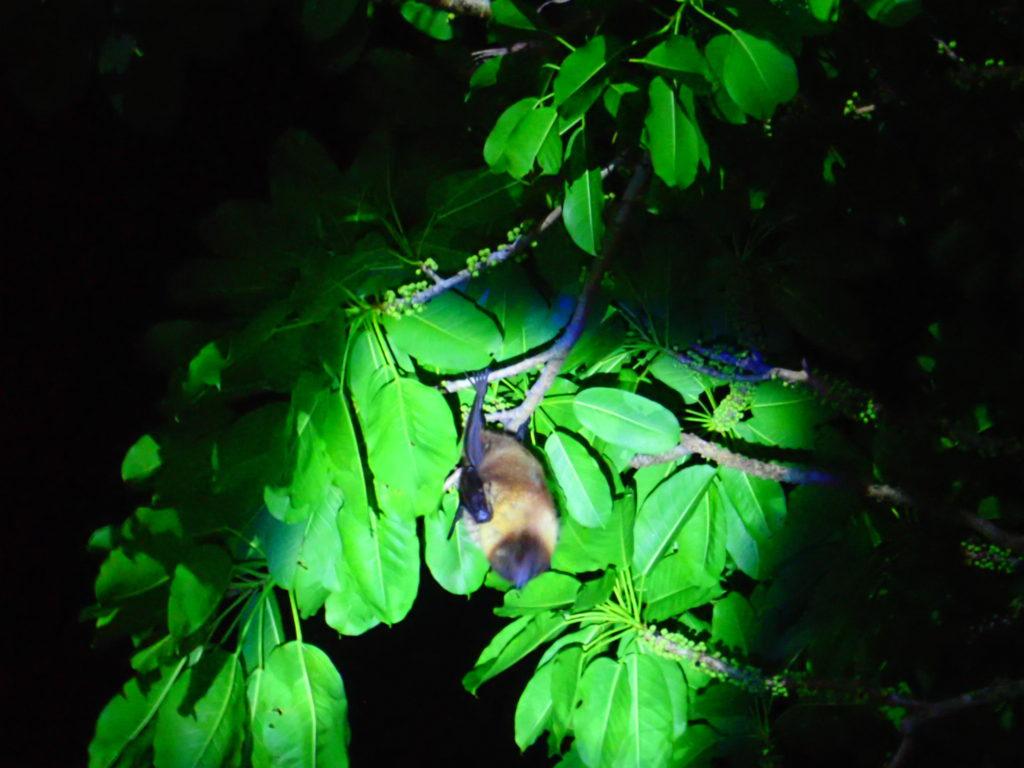 石垣島ナイトツアーのヤエヤマオオコウモリ