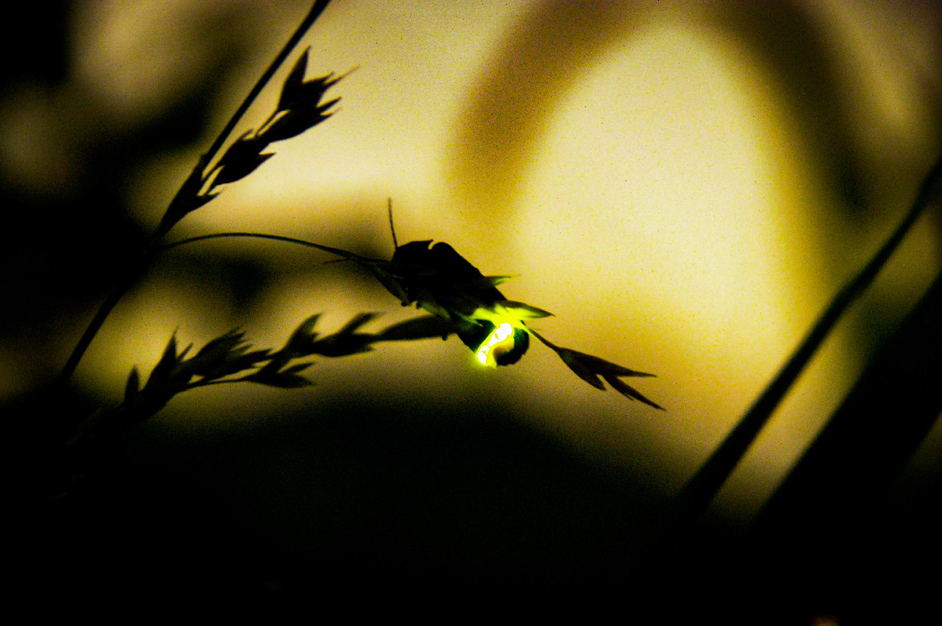 日没後わずか数時間しか見ることのできないヤエヤマヒメボタル