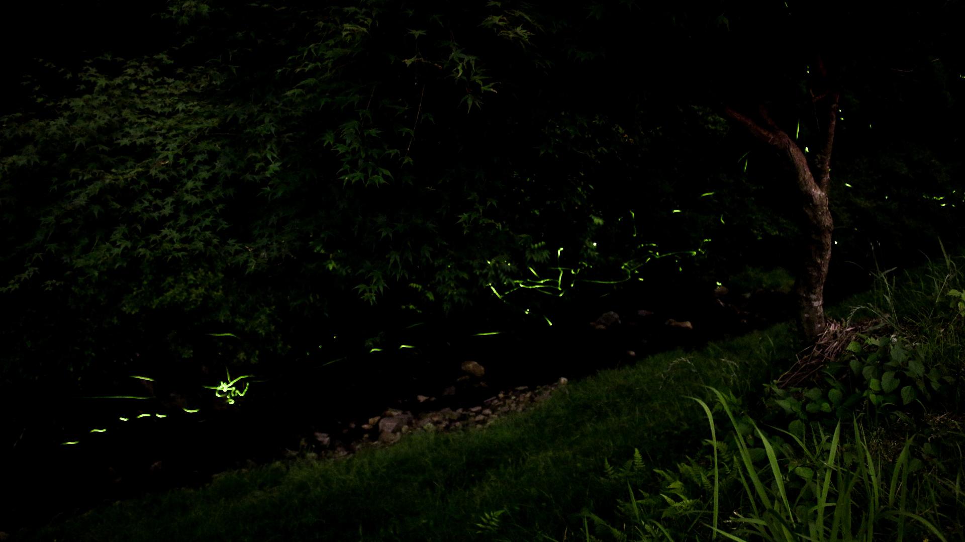 日本一美しいホタルの群集ヤエヤマヒメボタル