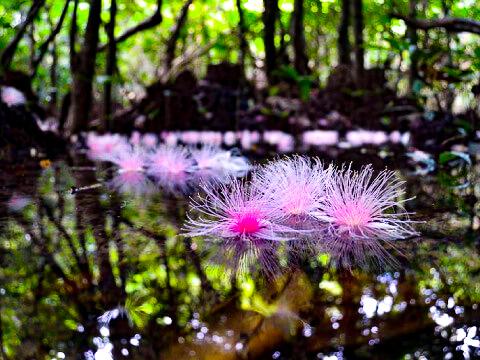 水面に浮かぶサガリバナの花