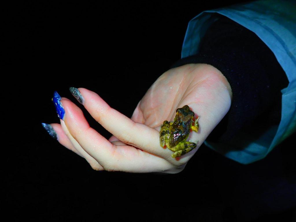 石垣島のナイトツアーのカエル