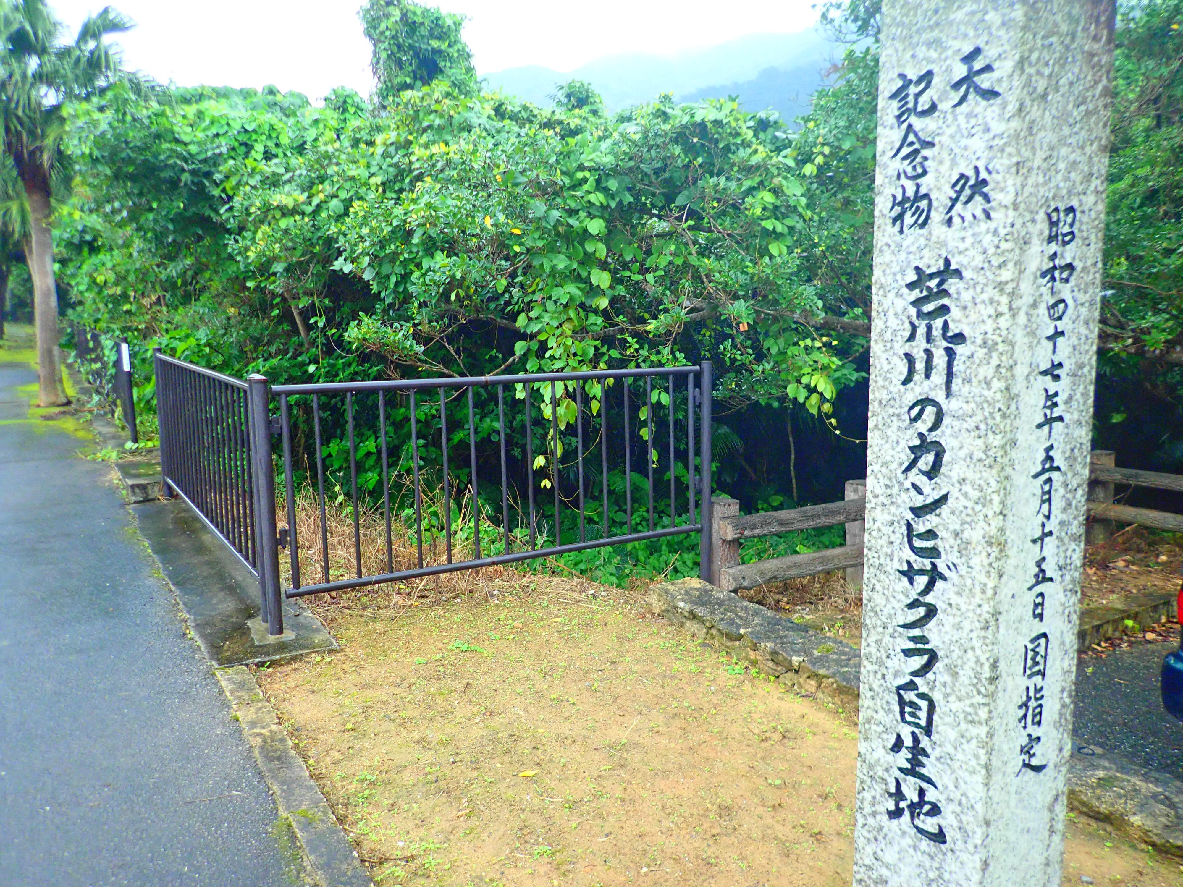 入口の天然記念物のカンヒザクラ