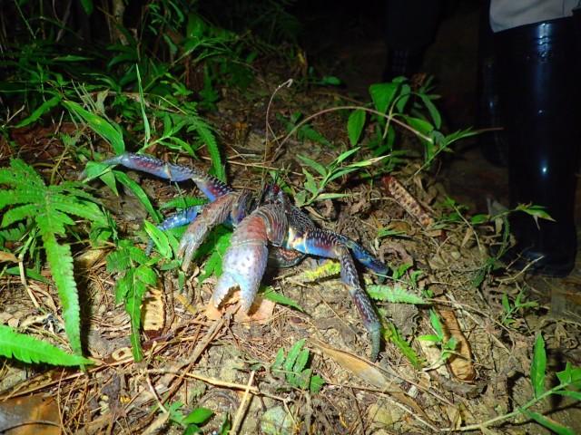 絶滅危惧種に指定された石垣島のヤシガニ
