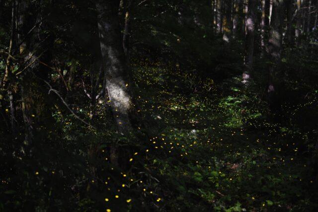 ヤエヤマヒメボタルの光の絨毯