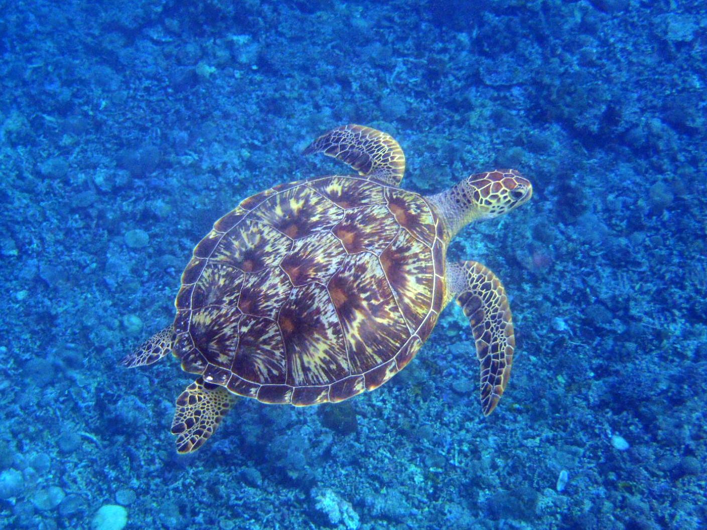 海中を優雅に泳ぐウミガメ