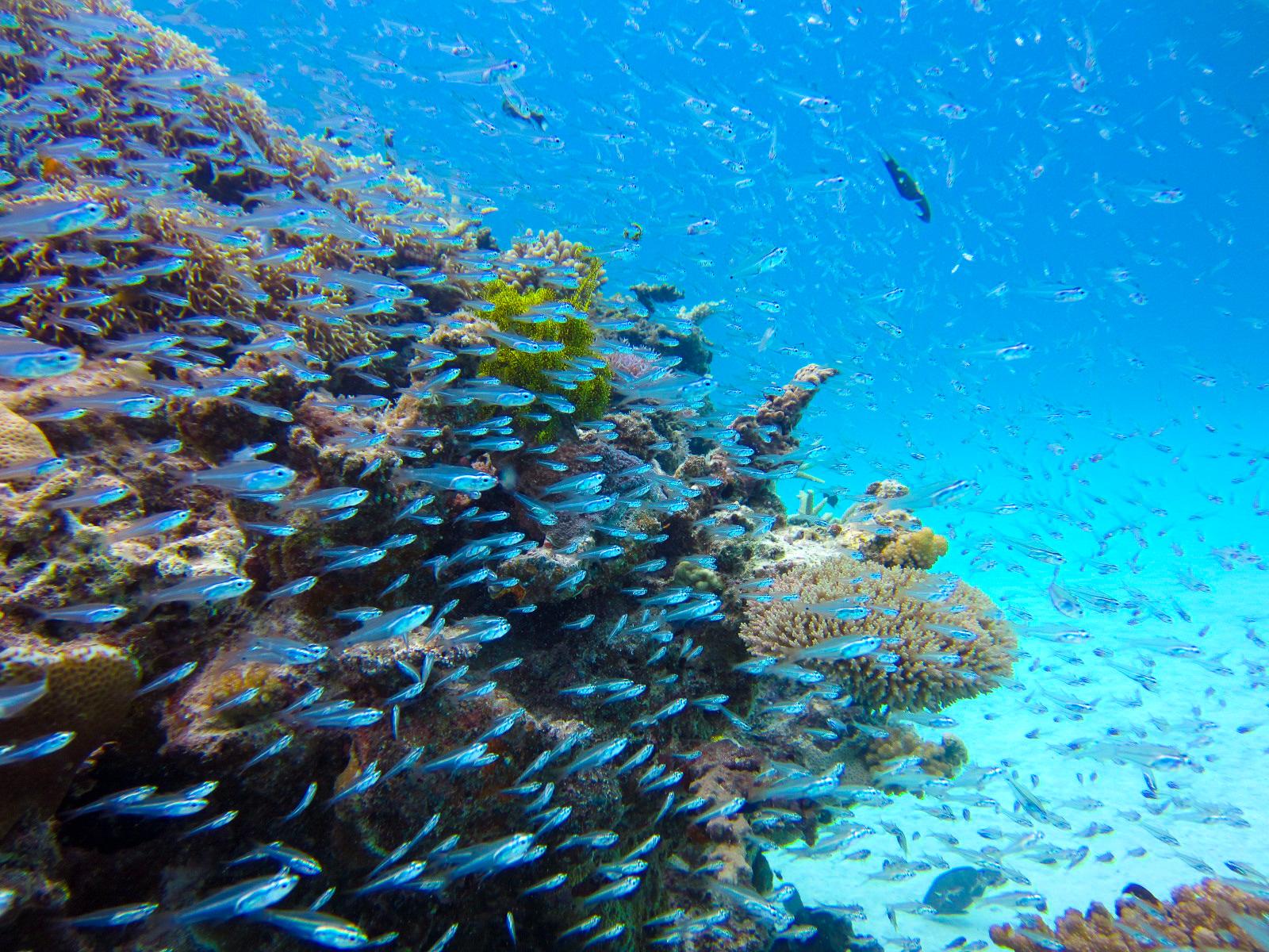 石垣島で体験ダイビング中に見ることのできる熱帯魚