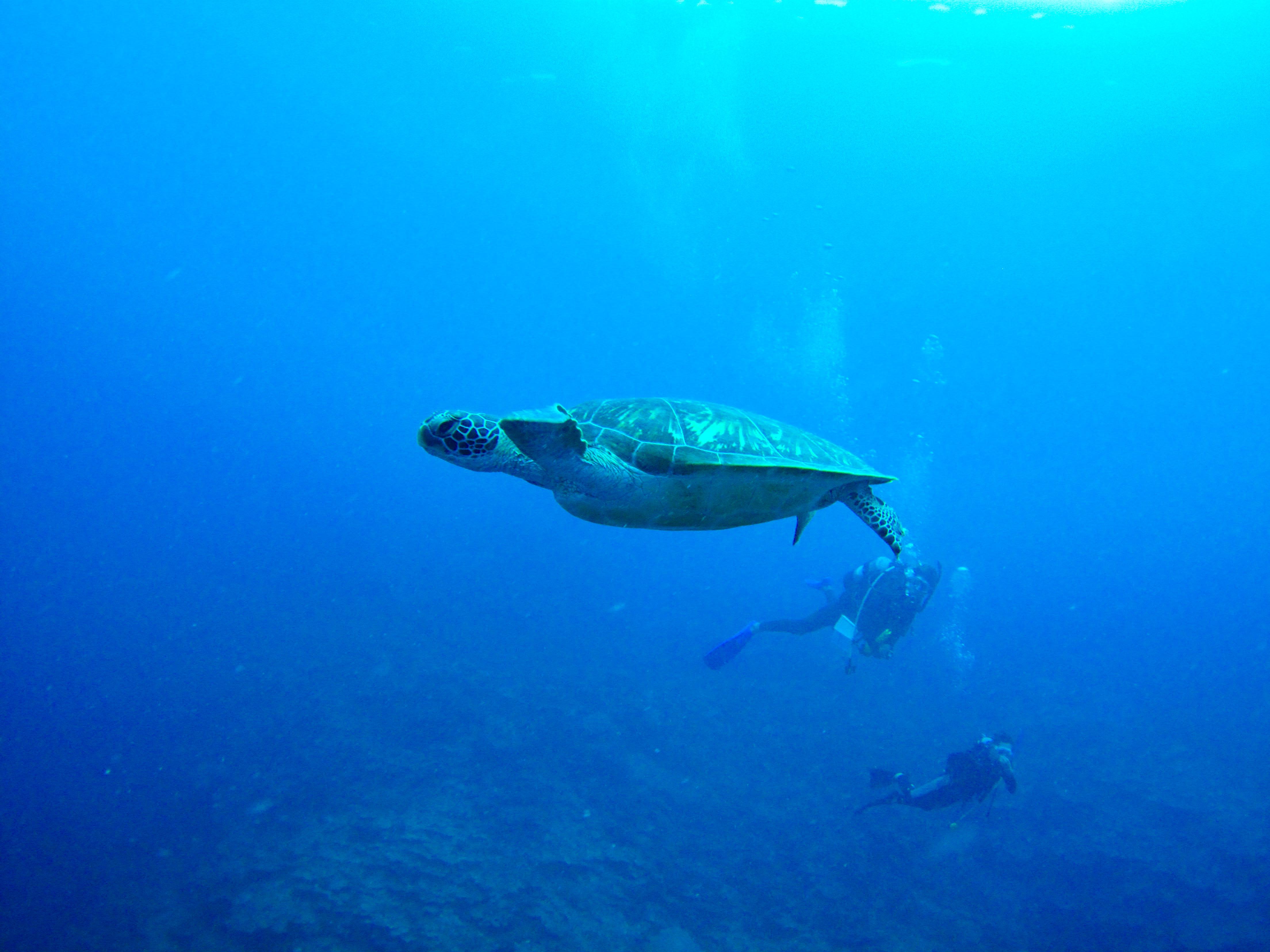 石垣島の絶滅危惧ウミガメを撮影