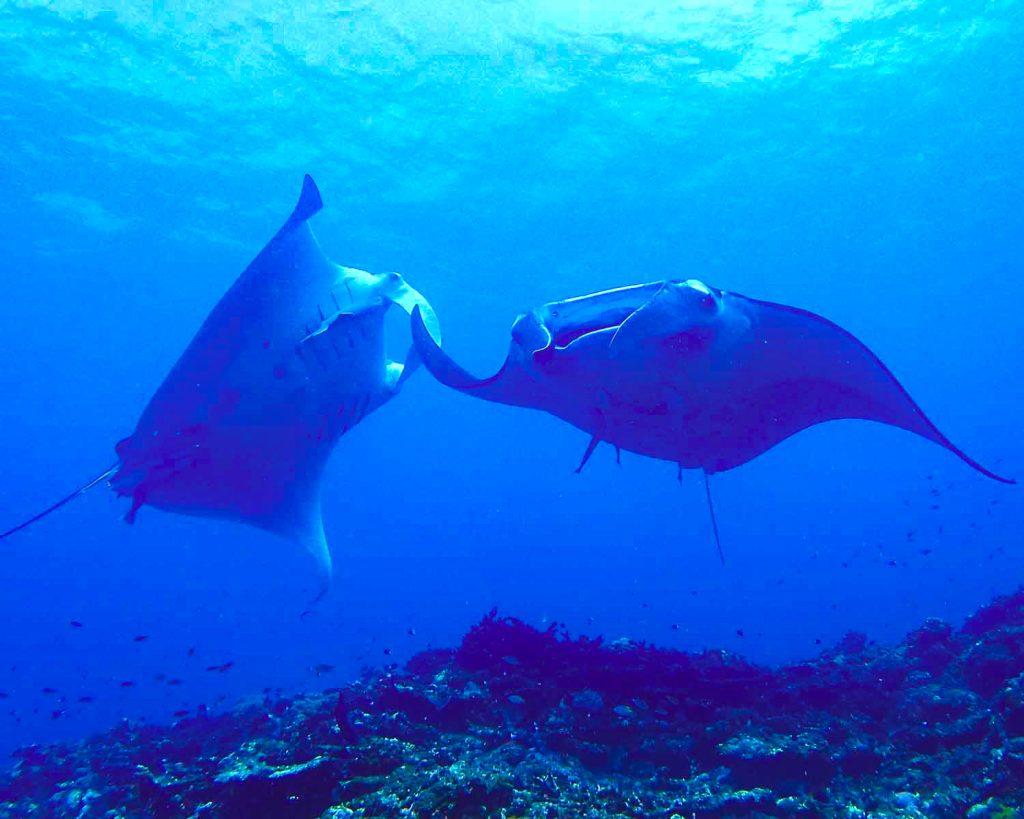 石垣島のダイビングのマンタ