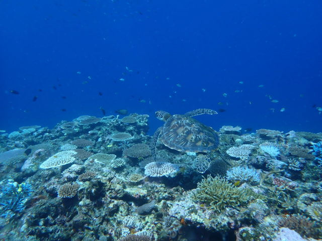 石垣島 青の洞窟 ウミガメ