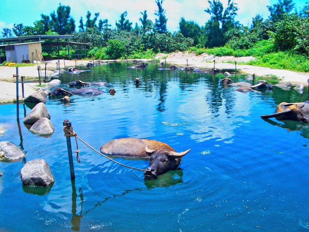 水牛がくつろぐ水牛の池