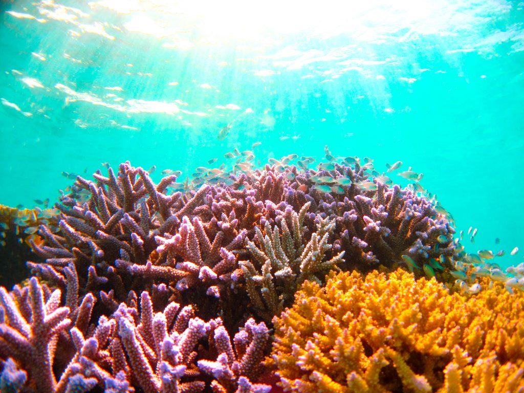 黒島周辺のカラフルサンゴ
