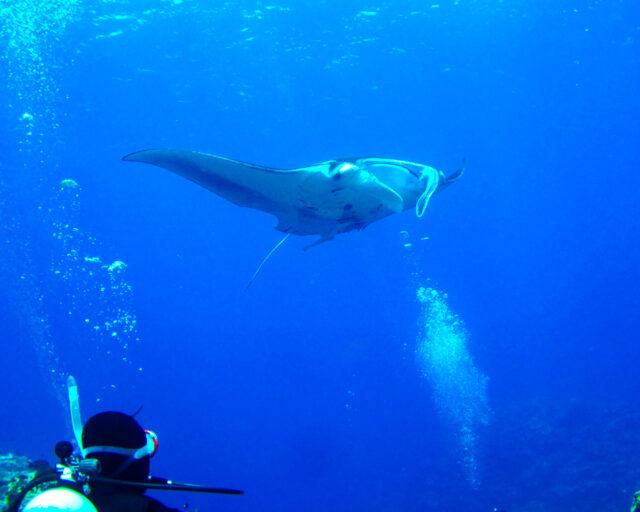 体験ダイビングでマンタを鑑賞