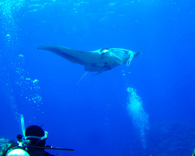 7月の体験ダイビングでマンタを見る