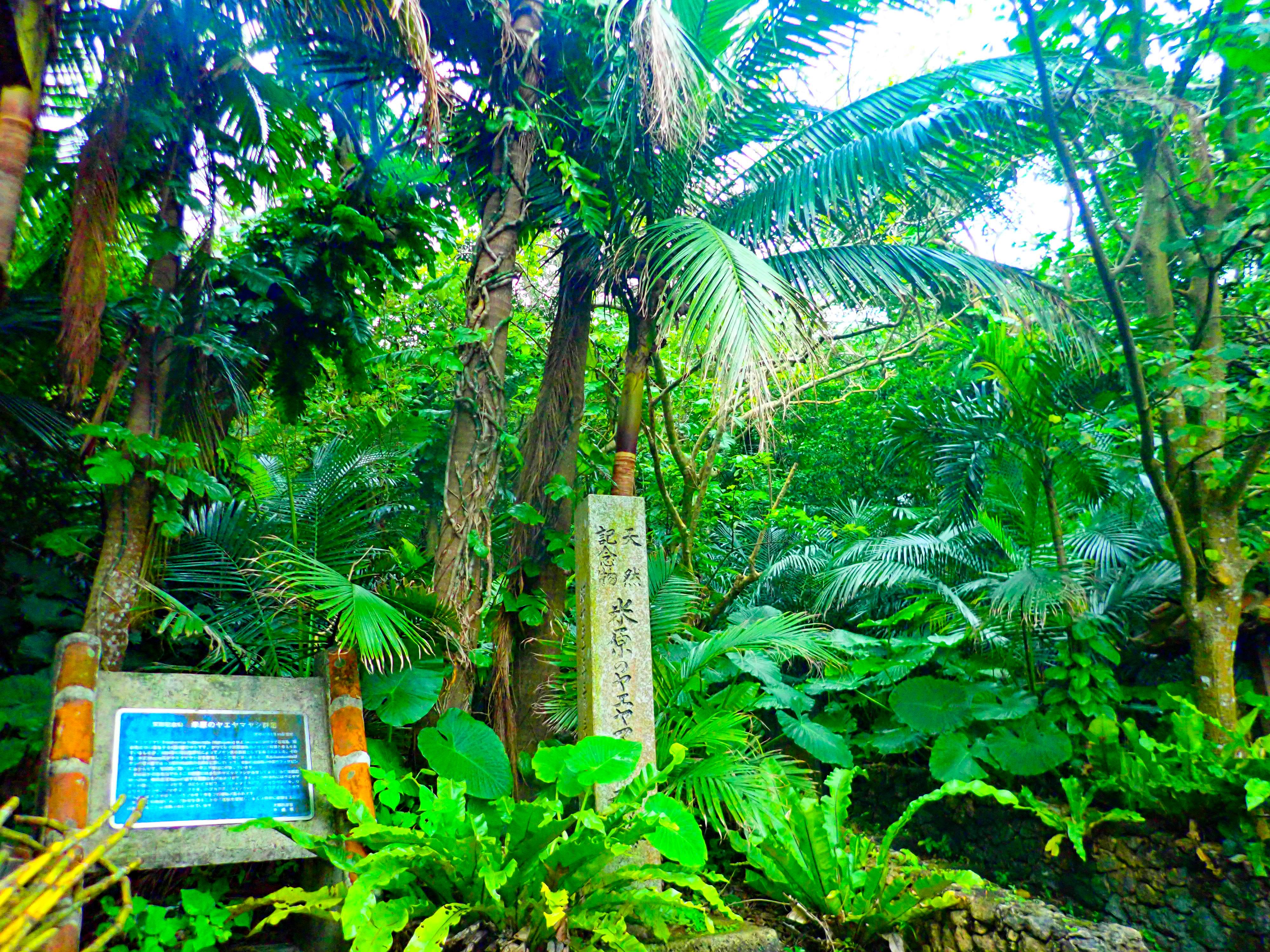石垣島に自生しているヤエヤマヤシ