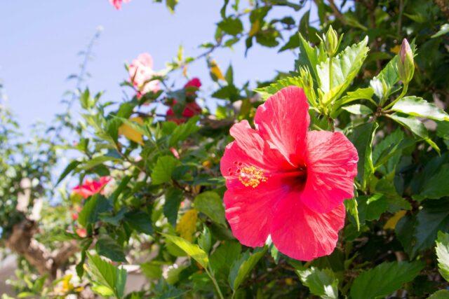 2月の石垣島で見られるハイビスカス