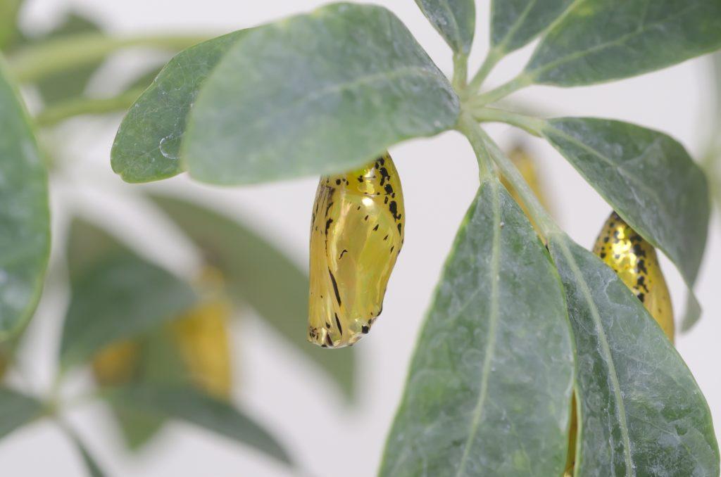 蝶々園にいるオオゴマダラの蛹