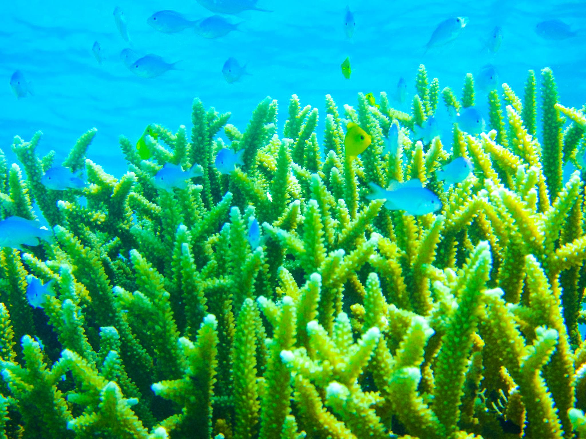 石西礁湖で体験ダイビング中に見えるサンゴ