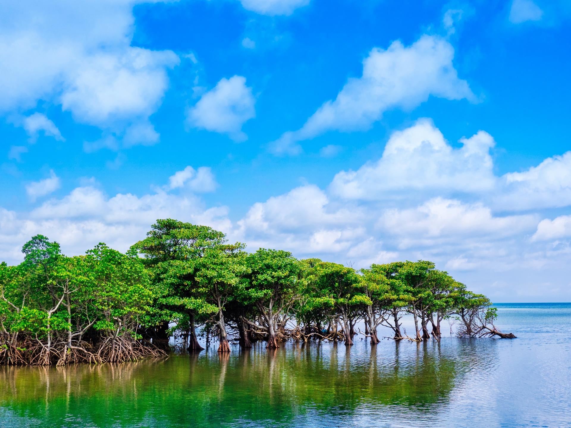7月の西表島のマングローブ群生