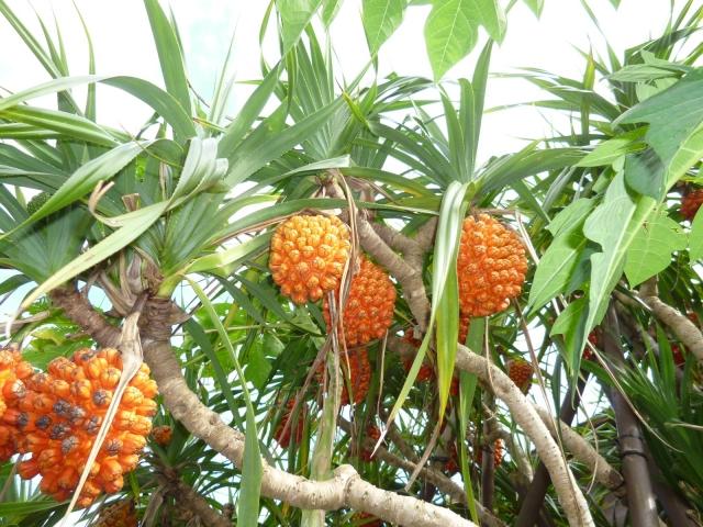 石垣島のナイトツアーで人気の植物であるアダンの実
