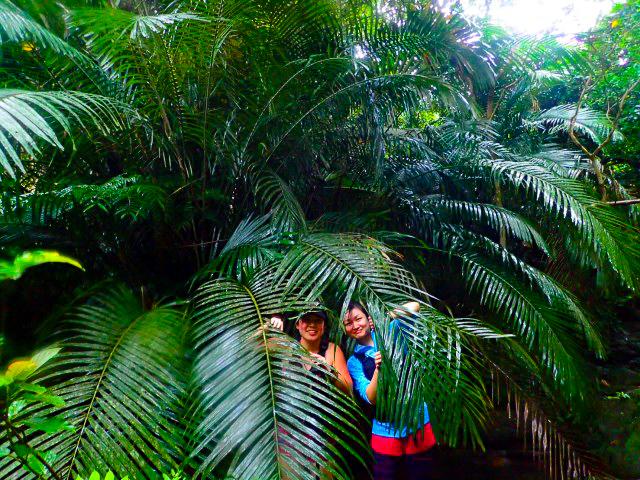 巨大な植物であるニッパヤシ