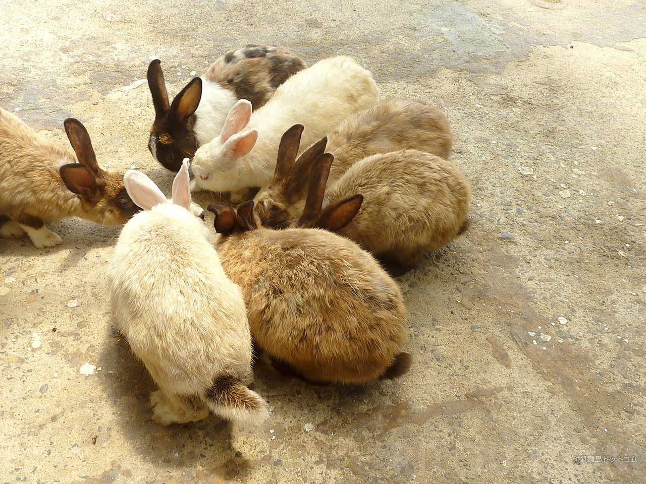 ウサギパークの嘉弥真島で見つけたウサギ