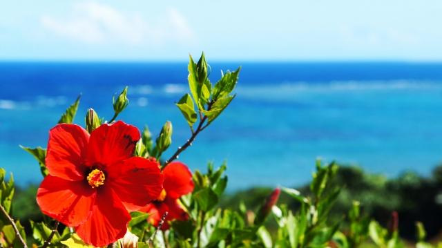 離島ターミナル付近に咲くハイビスカス