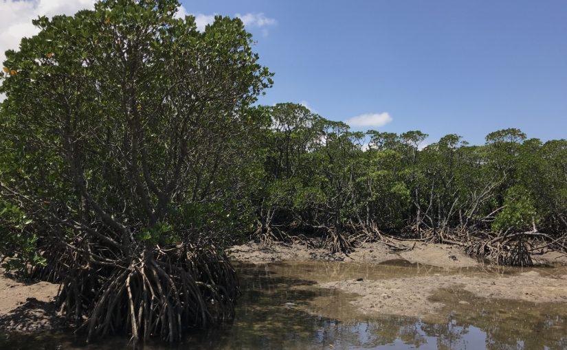 石垣島の宮良川のヒルギ林