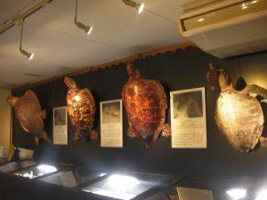 日本で見られるウミガメが展示されている