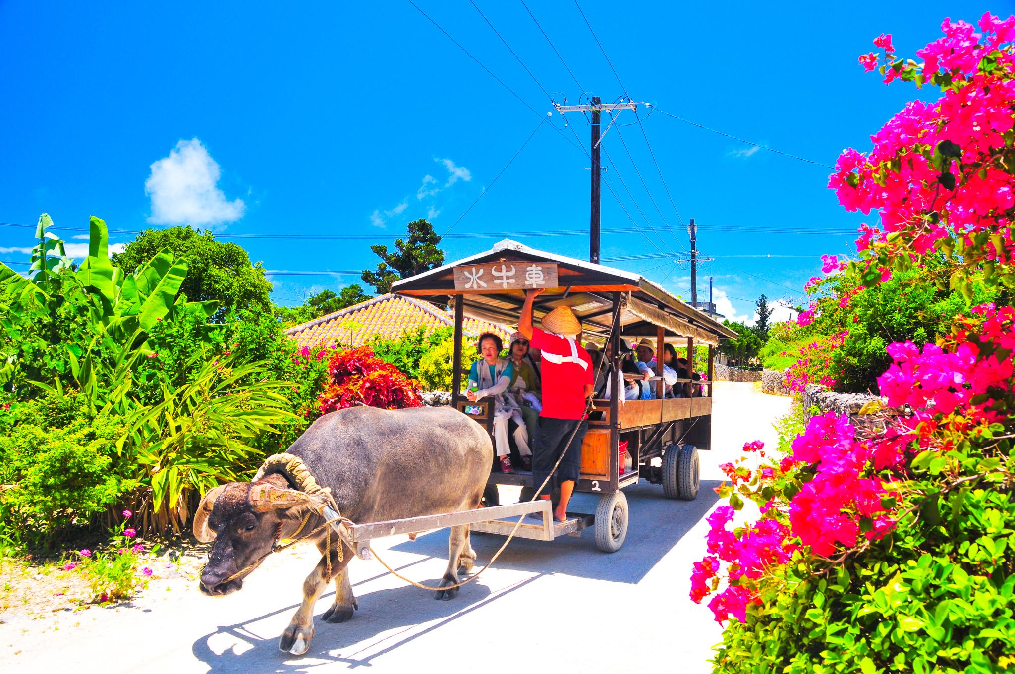 竹富島水牛者観光