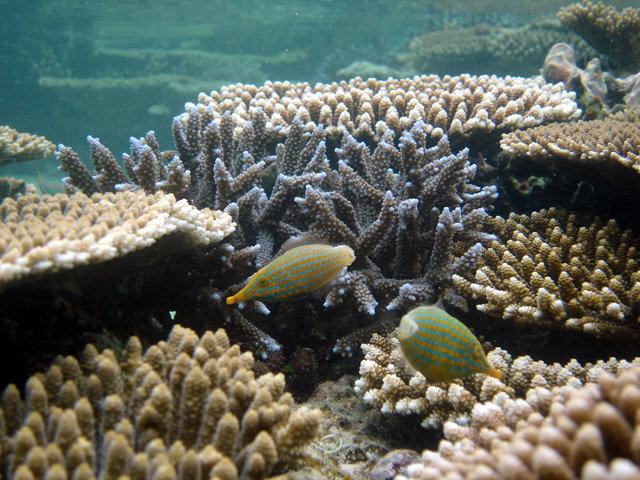 石垣島のアオサンゴ