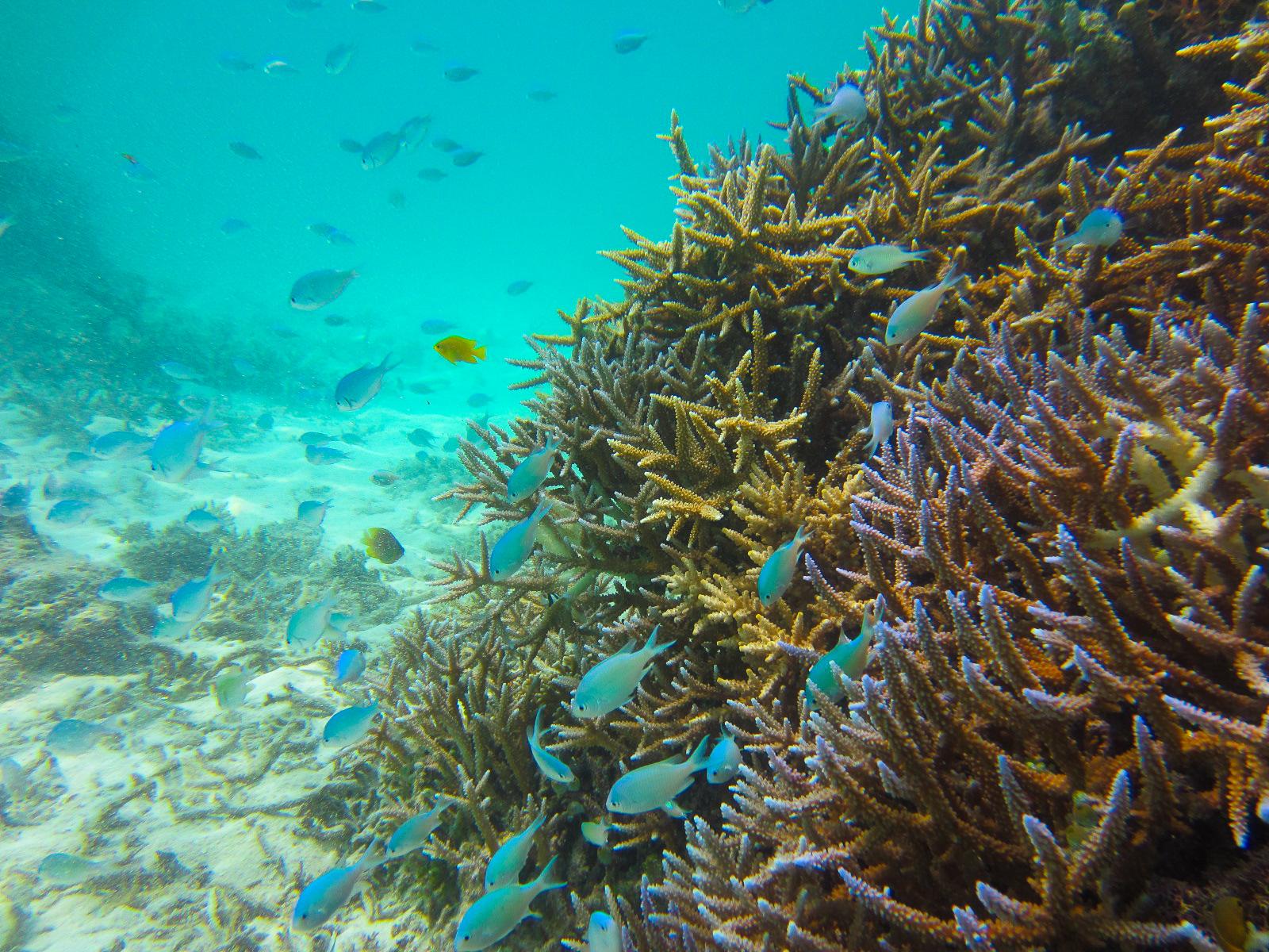 石西礁湖にあるサンゴ礁