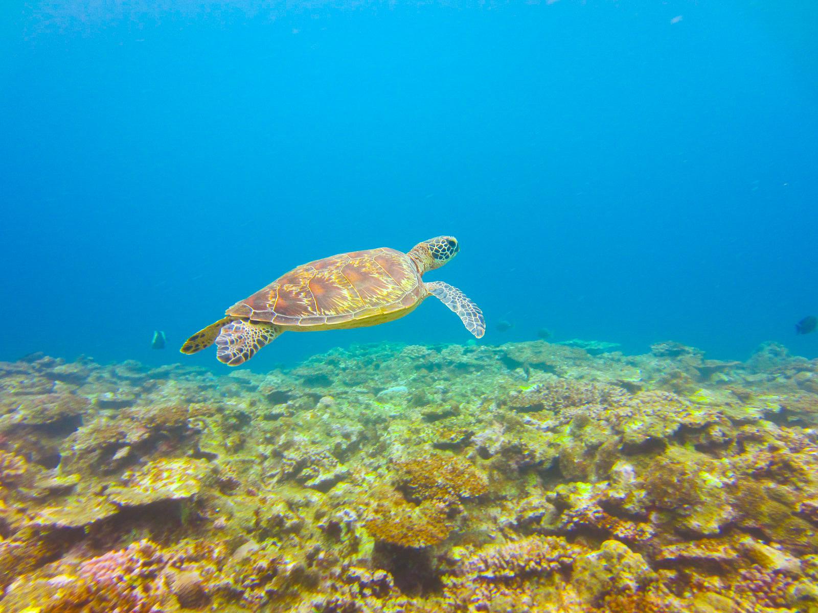 石垣島にはウミガメもいます