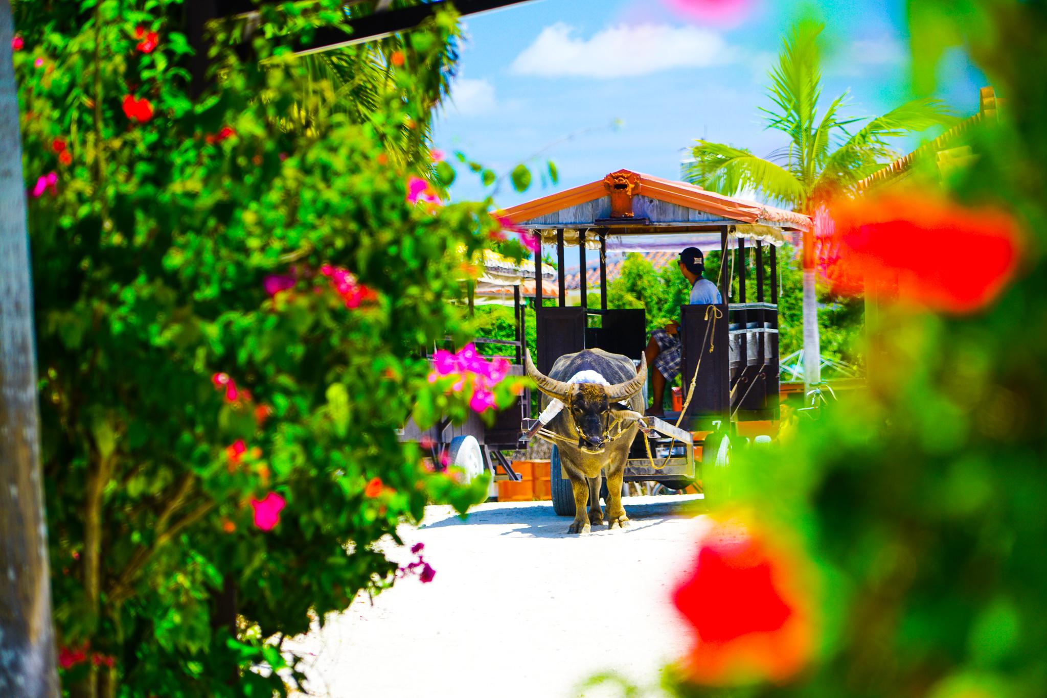竹富島を水牛車で遊びまわる
