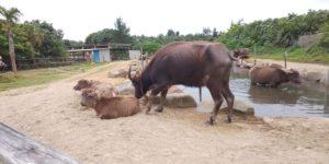 由布島の水牛の池