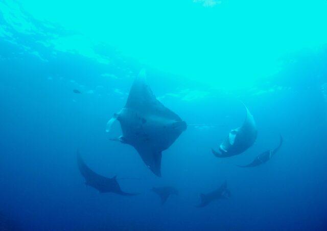 石垣島でのダイビングで見られるマンタ