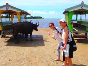 由布島観光、水牛