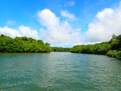 宮良川のヒルギ林