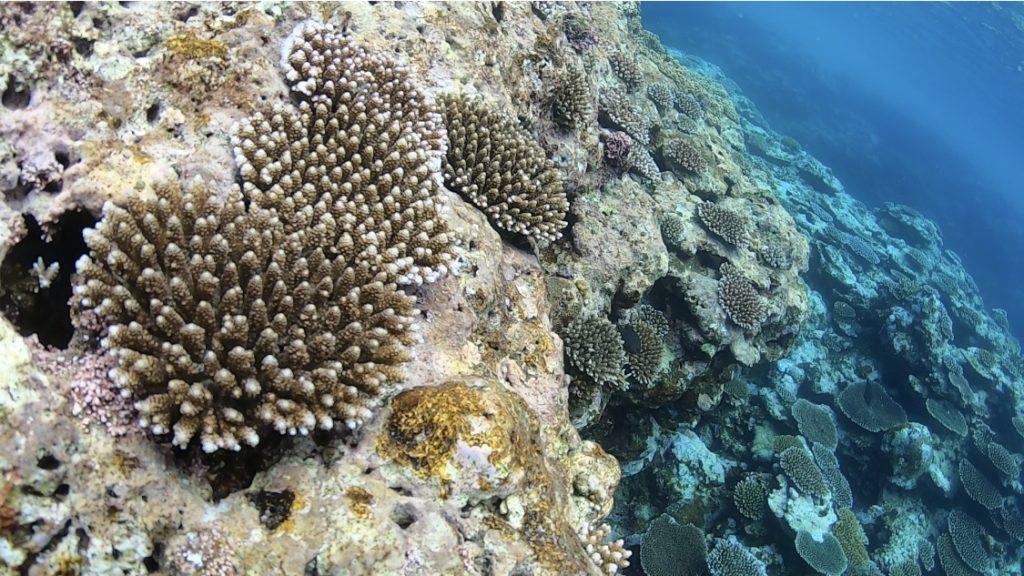 石西礁湖の素晴らしいサンゴ