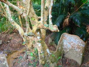 サキシマスオウの木