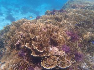 石垣島のカラフルなサンゴ