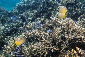 石西礁湖に住むサンゴと魚